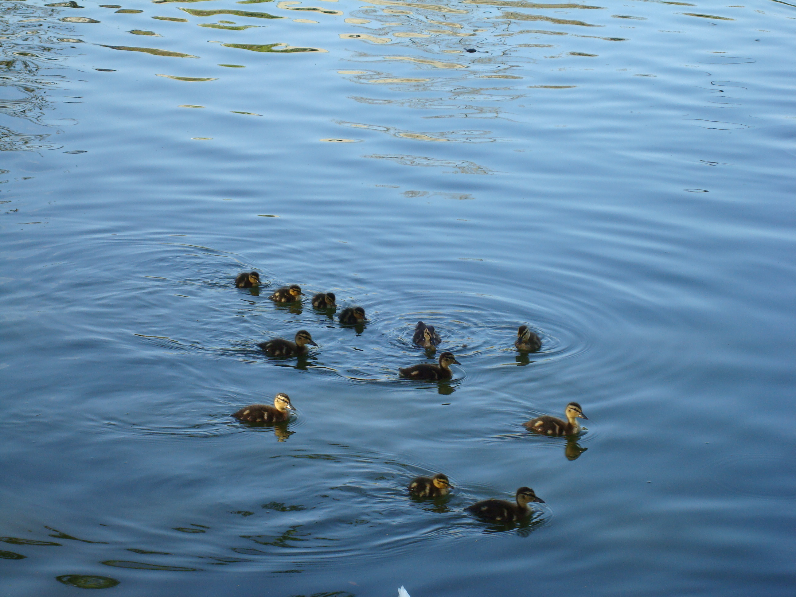 Attention:  photo of cute ducklings! Spring has sprung!
