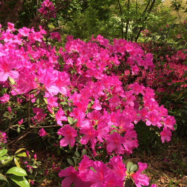 Azaleas in City Park